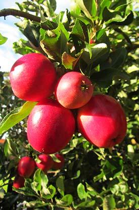 Яблоня защита от вредителей и