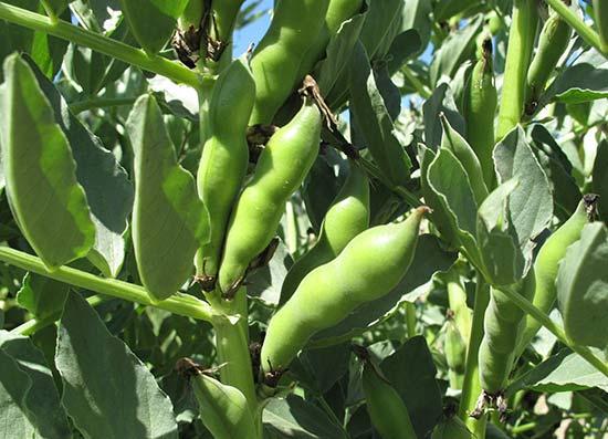 Боб - растение с плодами