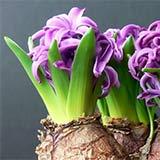 Размножение луковичных растений
