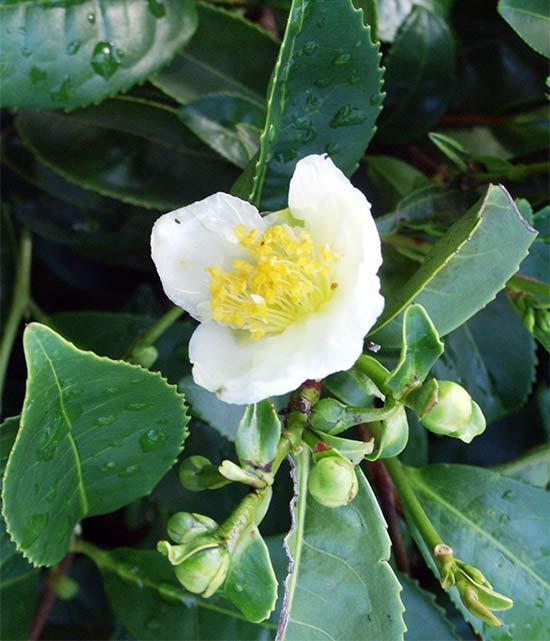 Камелия китайская чайная выращивание 297