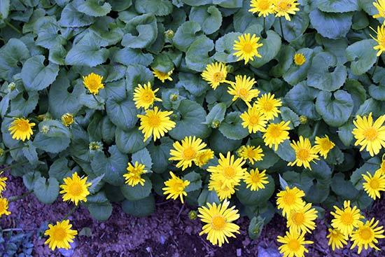 Цветы дороникума