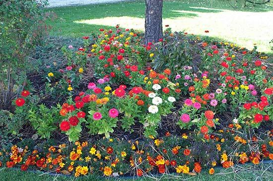 Цинии цветы на клумбе