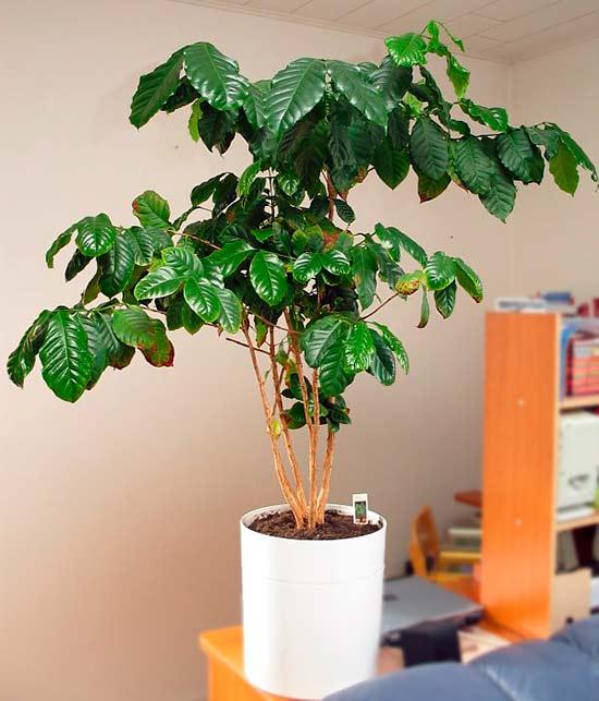 Выращивание кофе арабика дома 58