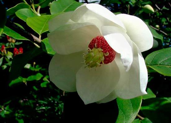 Цветок магнолии Зибольда