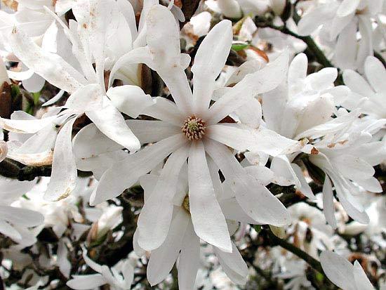 Цветы звёздчатой магнолии