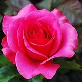 Чем болеет роза?