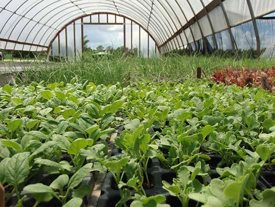 Редис агротехника выращивания в теплице 63