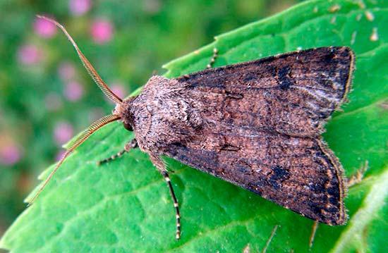 Бабочка озимой совки