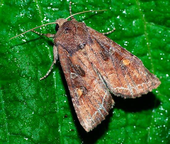 Огородная совка - бабочка