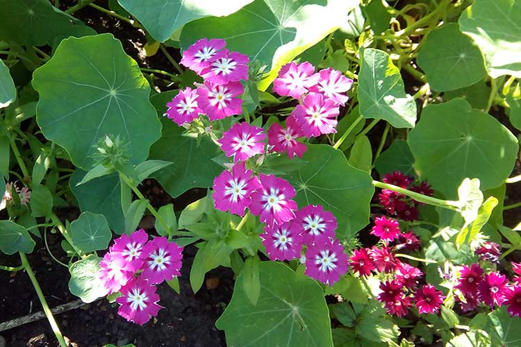Флокс Друммонда цветет с июня до первых заморозков