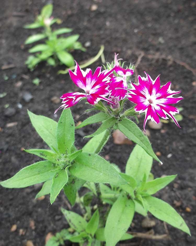 Однолетние флоксы можно выращивать рассадой, а можно прямым посевом в грунт