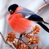 В феврале прикармливают птиц. Снегирь