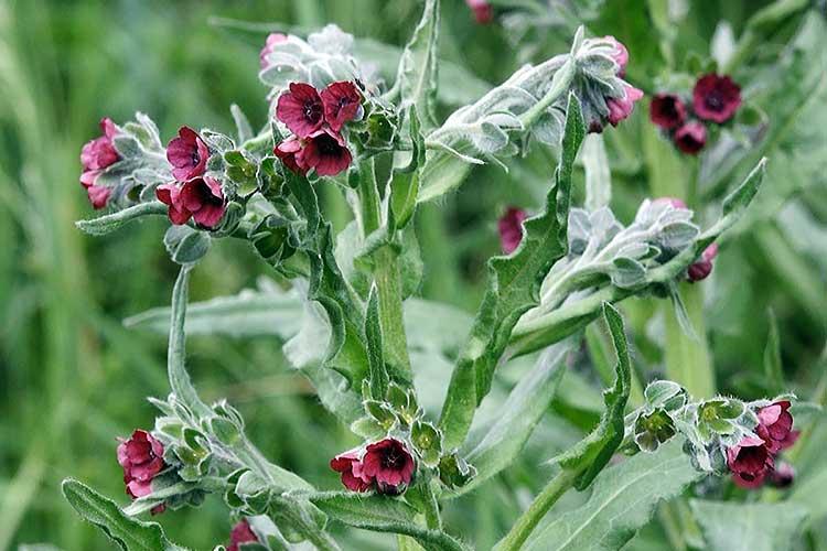 Чернокорень (циноглоссум) - красивоцветущий сорняк, привлекающий пчел