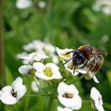 Алиссум (лобулярия, бурачок) привлекает пчел в сад