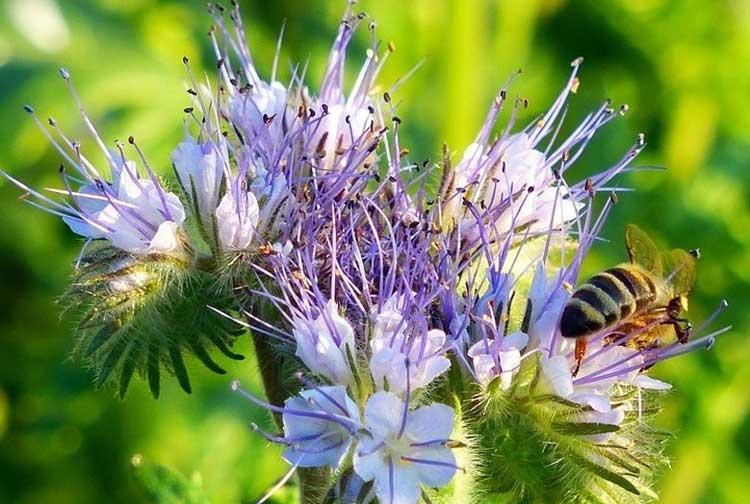 Фацелия не только сидерат, но и аттрактор для пчел
