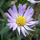 Цветок астры новобельгийской крупным планом