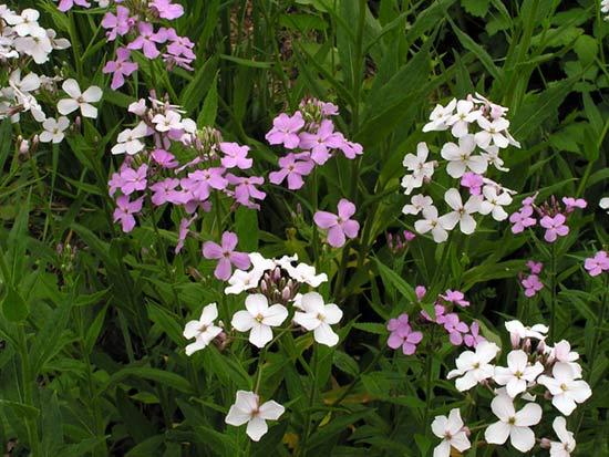 Гесперис цветет в мае-июне. Фото: floristtaxonomy