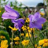 Колокольчик цветы