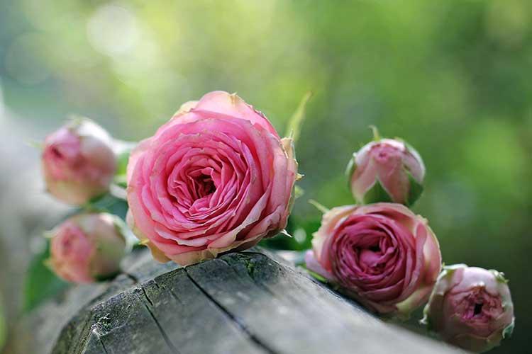 Розы не цветут