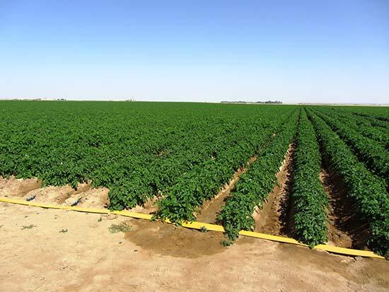 Капельное орошение картофеля в