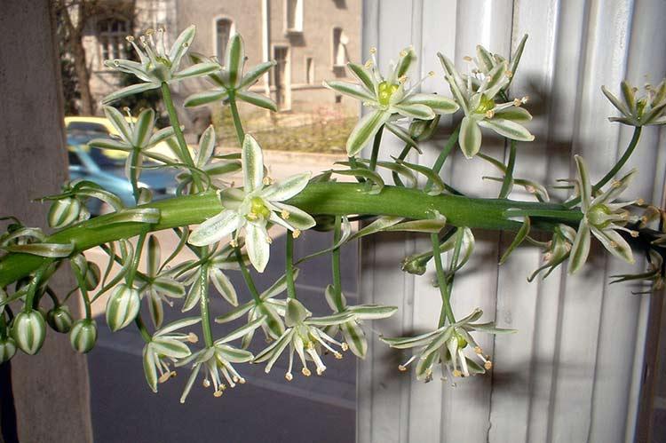 Цветы птицемлечника (индийского лука)