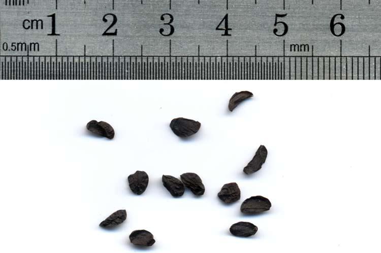 Семена индийского лука