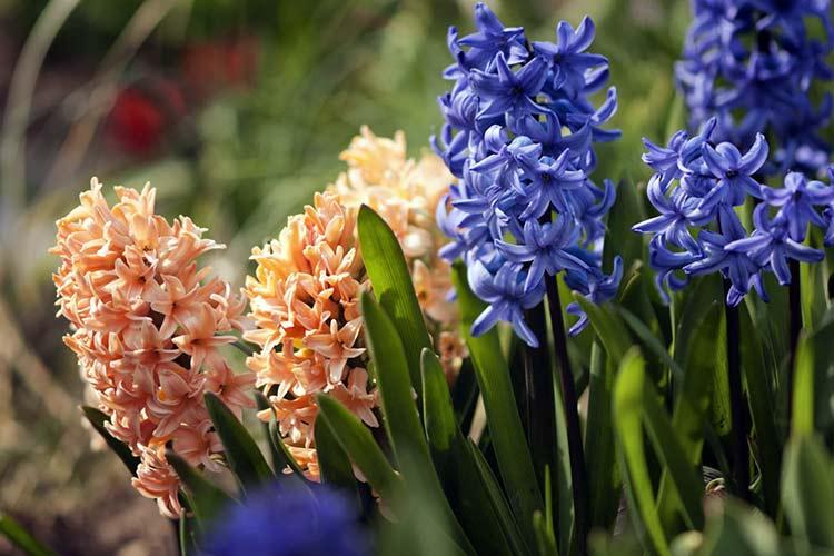 Луковичный цветок гиацинт