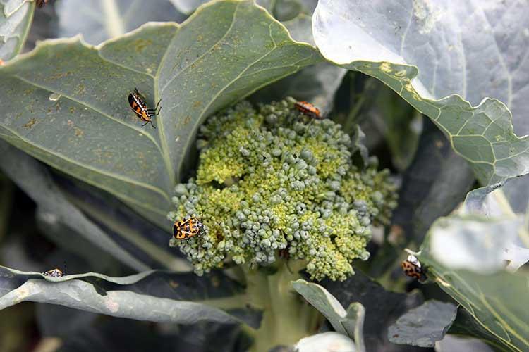 Крестоцветный клоп поедает листья брокколи