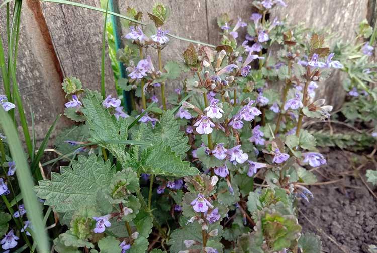 Будра плющевидная (glechoma hederacea), цветущее растение