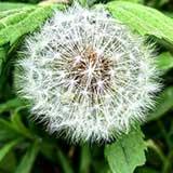 Одуванчик, лекарственные свойства растения
