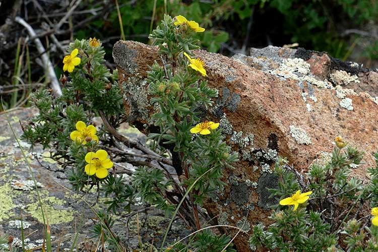Лапчатка кустарниковая уход и выращивание, как обрезать и