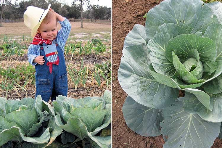 Агротехника выращивания белокочанной капусты 61