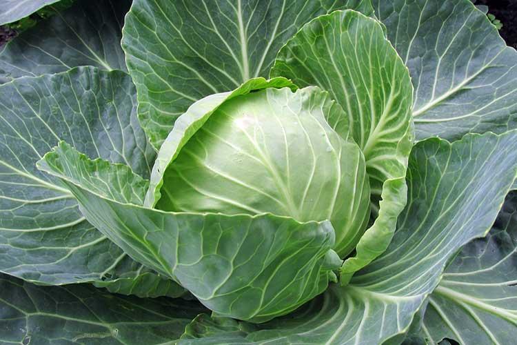 Агротехника выращивания белокочанной капусты 27