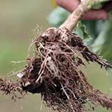 Кила капусты - наросты на корневище