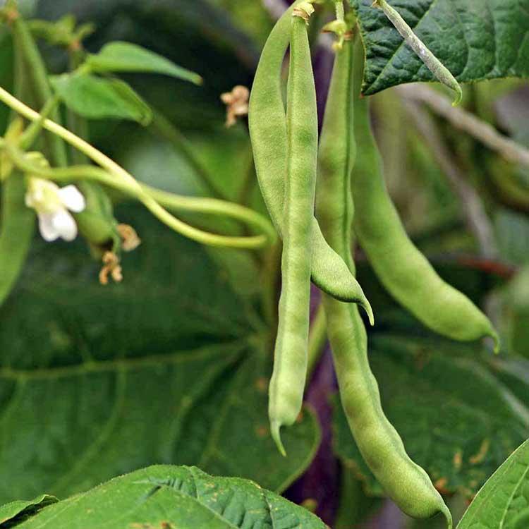 Зеленые плоды фасоли (стручки, бобы)