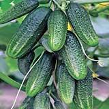 Огурцы можно выращивать в бочке