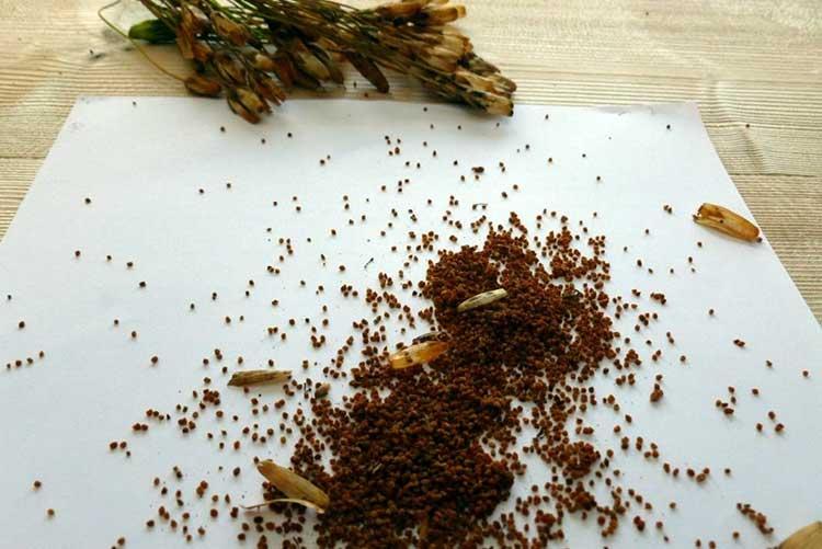 Собранные семена своими руками