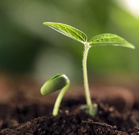 Четвертая и пятая фазы роста растения