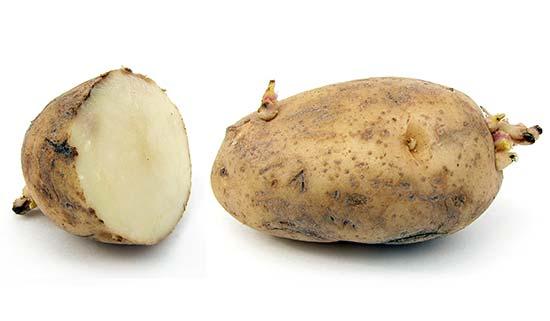 Картофель, в умеренном климате выращивают как двулетнее растение.