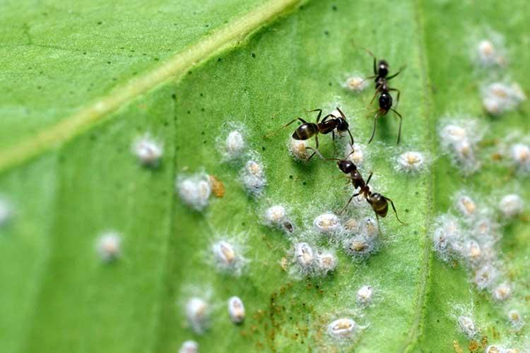 Мучнистых червецов разводят муравьи