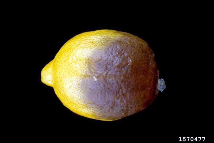Плод лимона заражен фитофторой