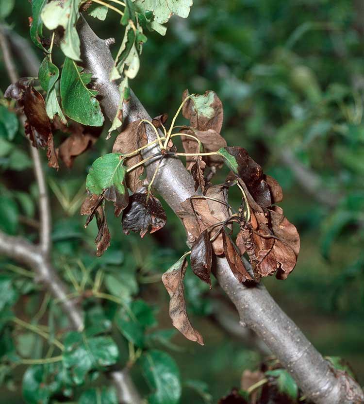 Признаки фитофтороза яблони