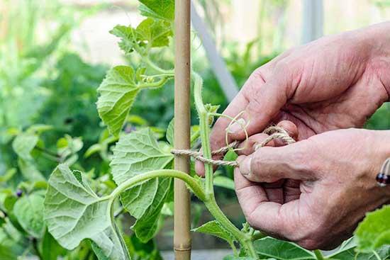 При выращивании дыни в теплице, стебли подвязывают к опоре
