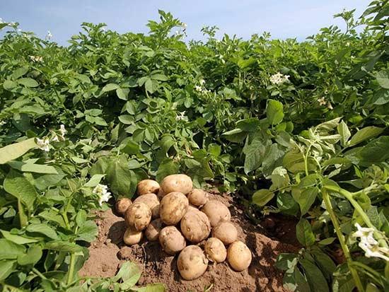 Крупный картофель растет на земле, богатой питательными элементами