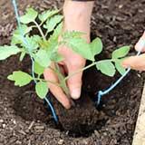 Рассада томатов любит почву кислее чем другие культуры