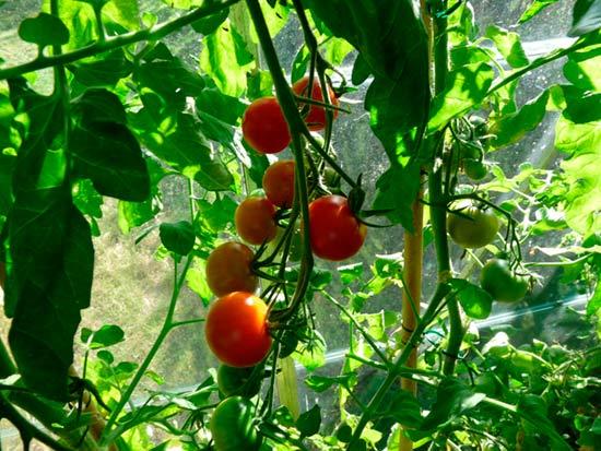 За тепличными томатами нужен уход
