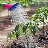 Полив овощей из лейки