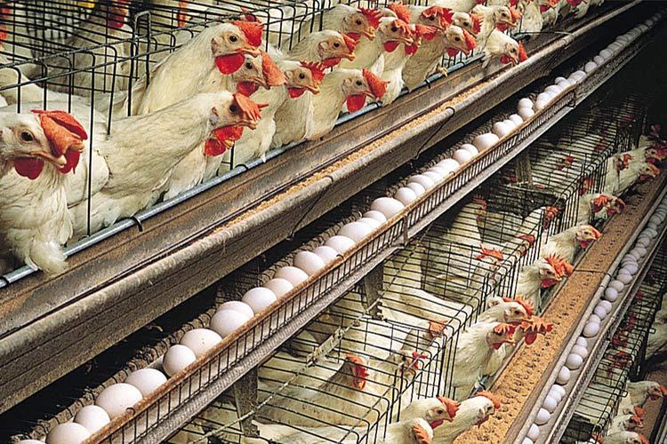 Птицеводство в домашних условиях куры
