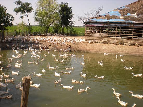 Ферма по выращиванию уток в Италии