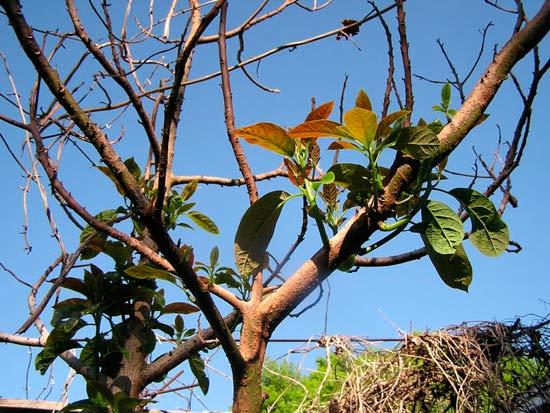 Поврежденное морозами авокадо